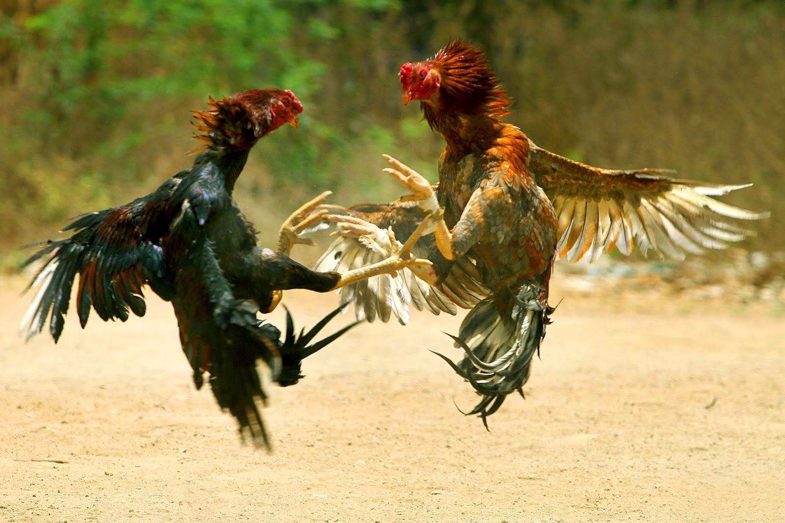 sejarah taruhan sabung ayam yang melegenda dari dinasti kerajaan