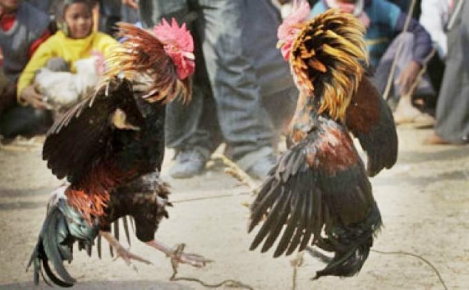 Sabung Ayam Tinju Akan Diadakan Di Makasar