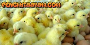Tips Untuk Mengetahui Jenis Kelamin Ayam