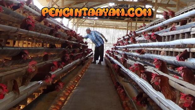 Seputar Budidaya Ayam Petelur
