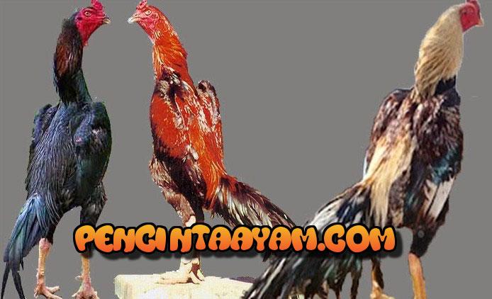 Menambah Keberanian dan Daya Juang Ayam Bangkok