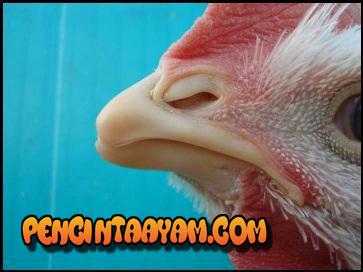 Meruncingkan Paruh Ayam Bangkok - Paruh Ayam Yang Masih Tumpul