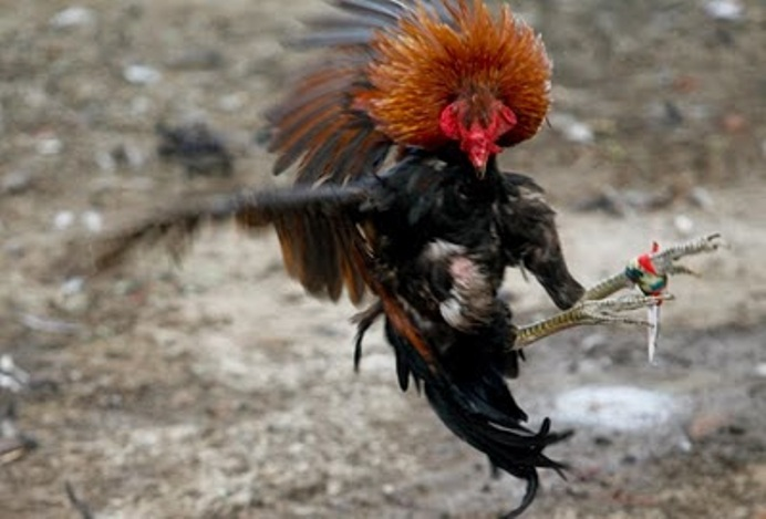 Info Tentang Taji Ayam Super Kuat Tak Terkalahkan