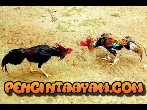 Jenis Ayam Bangkok Pembunuh