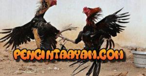 Kumpulan Foto Ayam Bangkok Juara
