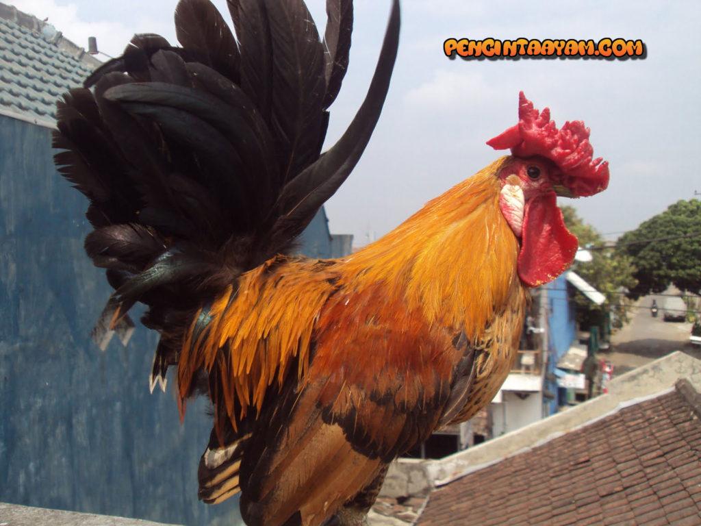 Perkembangan Sabung Ayam Di Indonesia