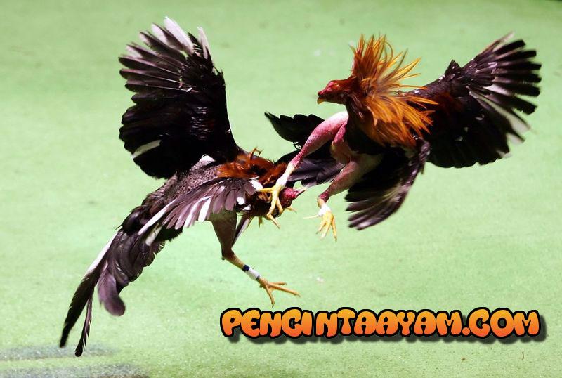 Suplemen Alami Untuk Ayam Bangkok