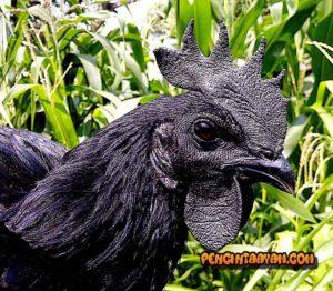 Ayam ini Harganya Bisa Buat Beli Motor Sport!