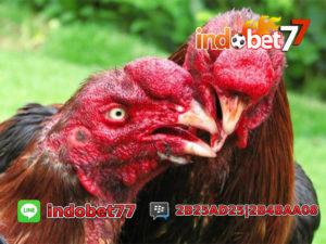 Memilih Ayam Bangkok Usia 3 Bulan