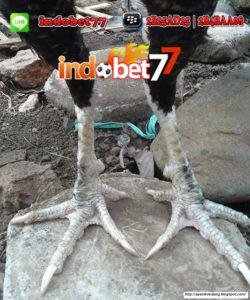 Gambar Kaki Ayam Bangkok Botoh Tua