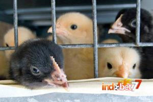 Bandar Sabung Ayam - Anakan Ayam Jago yang Berkualitas
