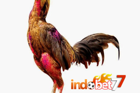 Bandar Sabung Ayam - Memilih Ayam Kualitas Juara