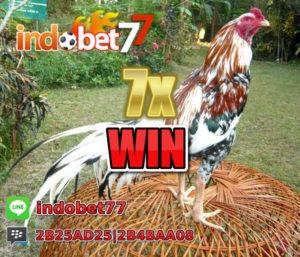 Ayam Bangkok Menang
