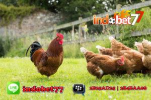 Bandar Sabung Ayam - Mencari Indukan Ayam Unggulan
