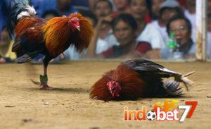 Bandar Sabung Ayam - Beternak Ayam Bangkok Berkualitas.