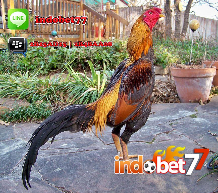 Menghasilkan Ayam bangkok Super.- Bandar Sabung Ayam