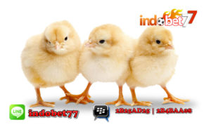 Bandar Sabung Ayam - Perawatan Anak Ayam Unggulan.