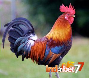 Bandar Sabung Ayam - Cara Memilah Ayam Unggulan