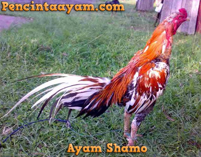 Sembilan Jenis Ayam Aduan Paling Digemari Di Dunia