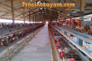 Tips Mengembangbiakkan Ayam Ras Bagi Pemula
