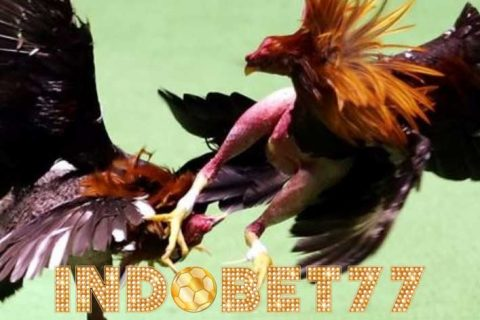 Beberapa Cara Menilai Kemampuan Tarung Ayam Bangkok