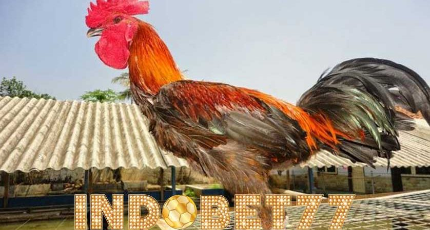 Beberapa Cara Merawat Ayam Pelung Agar Rajin Berkokok