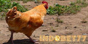 Beberapa Jenis Ayam Yang Memiliki Ukuran Tubuh Besar