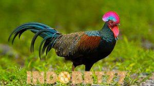 Beberapa Tips Cara Pembiakan Ayam Hutan Hijau