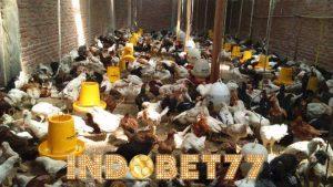 Cara Beternak Ayam Kampung Agar Menguntungkan