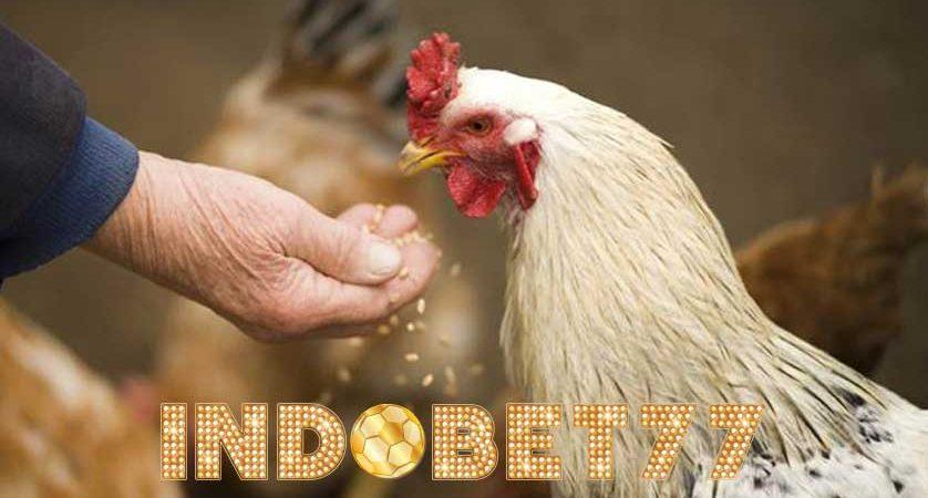 Cara Menambah Nafsu Makan Ayam Aduan Agar Tumbuh Sempurna