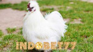 Ciri Khas Dan Keistimewaan Dari Si Putih Ayam Kapas