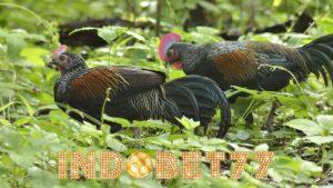 Hal Yang Harus Diperhatikan Dalam Beternak Ayam Hutan
