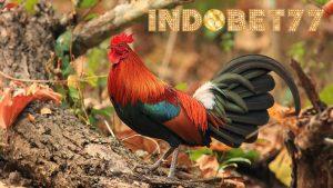 Mengenal Beberapa Jenis Warna Bulu Ayam Petarung