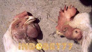 Penyebab Dan Pengobatan Penyakit Viral (Virus) Pada Ayam