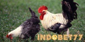 Jenis Dan Keistimewaan Dari Ayam Buras