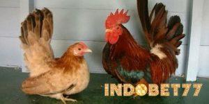 Jenis-jenis serta Keunggulan Ayam Hias Yang Banyak Digemari