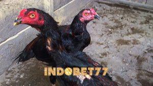 Cara Melatih Nafas Ayam Bangkok Agar Bertahan Lama