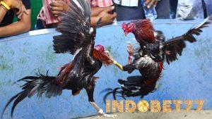 Ciri-ciri Pukulan Ayam Aduan Bangkok Yang Mematikan