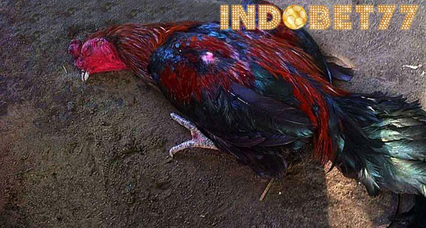 Penyakit Ayam Bangkok Berbahaya Serta Cara Mengatasinya