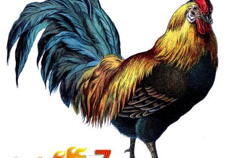 Bandar Sabung Ayam - Jenis Ayam Bangkok Kelas Berat.