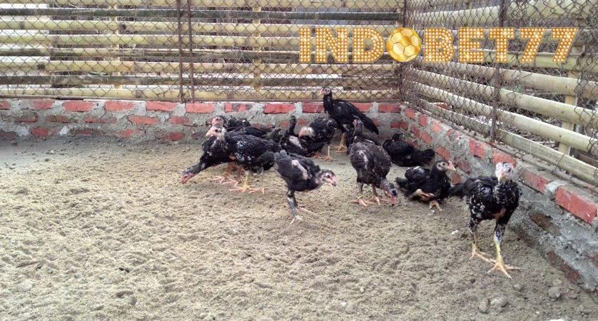 Cara Mengatasi Ayam Aduan Belum Berani Bertarung