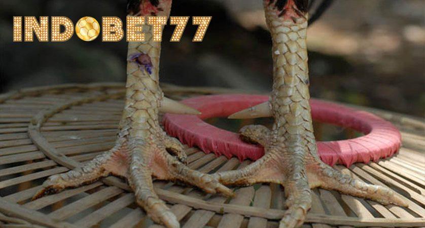 Ciri-ciri kaki ayam bangkok jawara