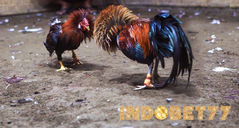 Kisah Sejarah Legenda Sabung Ayam Di Indonesia